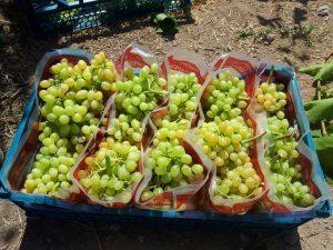 صادرات سولفورپد انگور